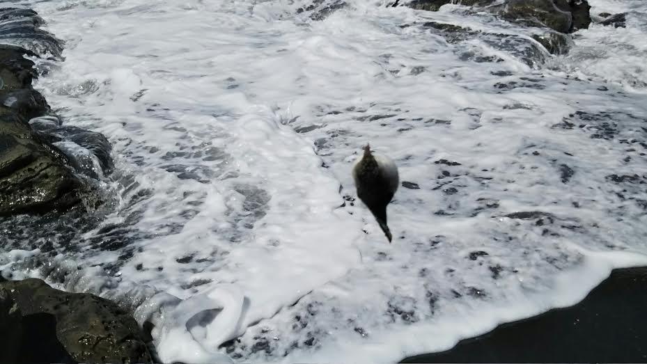 館山市塩見の磯で釣りあげたフグ