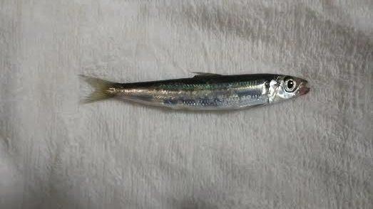 富浦新港で釣れたイワシ