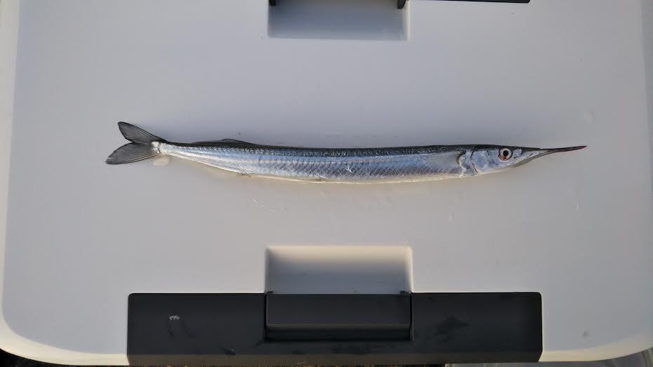 鴨川で釣れたサヨリ