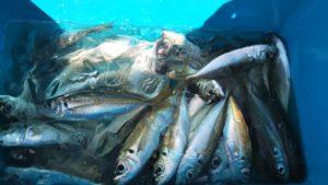 大漁のアジ