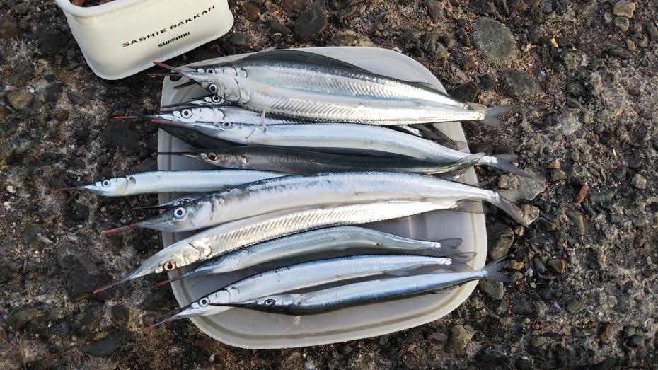 サヨリ大漁