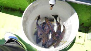 イサキの沖釣り