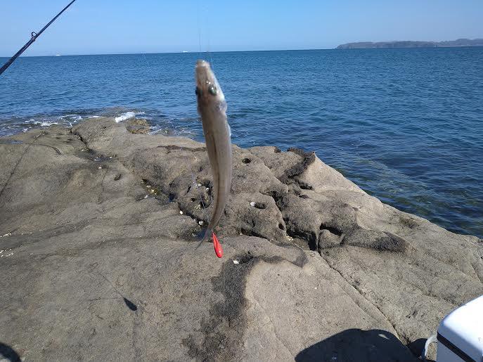 釣れたシロギス