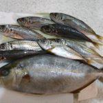 磯釣りの釣果(ショゴ・アジ)