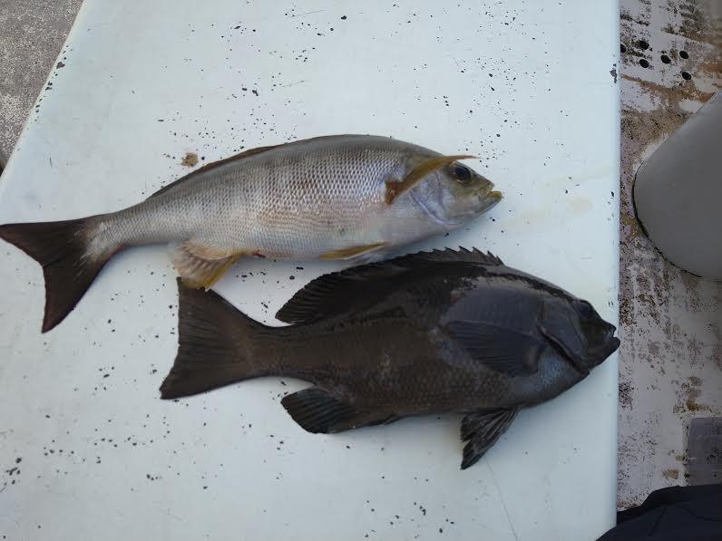 イサキとメジナの釣果